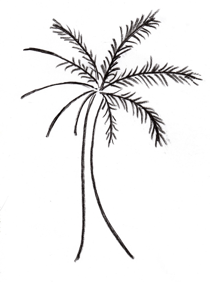 Uncategorized Drawing Of A Palm Tree palm tree drawing samantha bell to finish your draw curved lines on the trunk be sure curves are facing upward