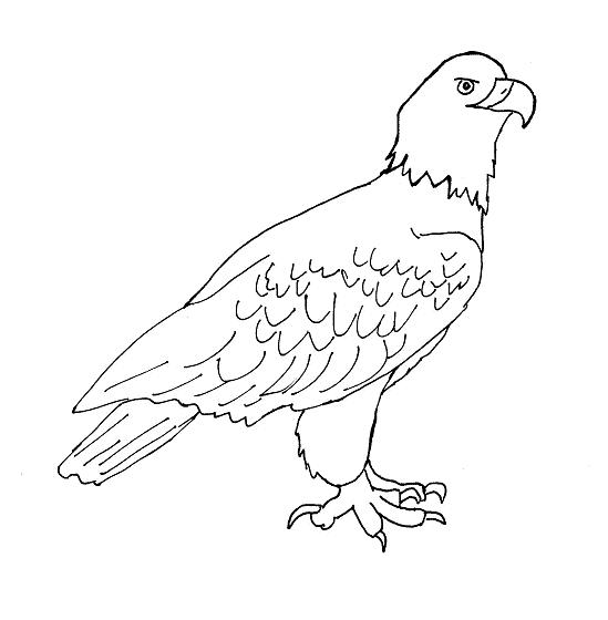 Small Eagle Drawing Eagle-drawing1