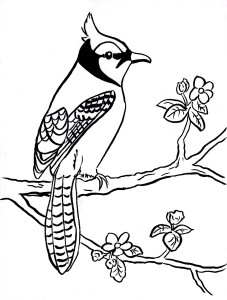 Blue jay coloring page 4 001