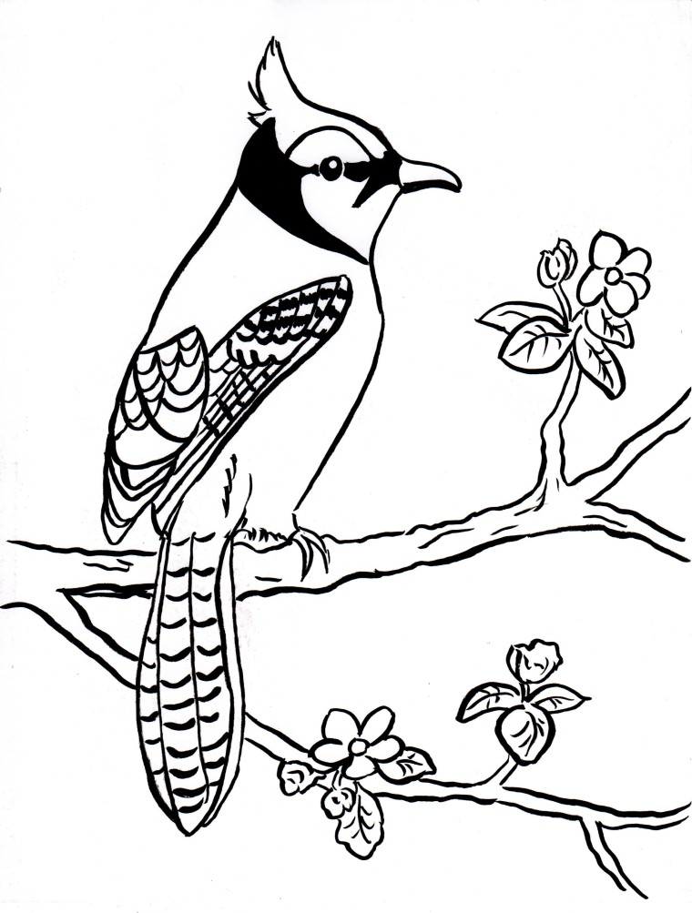 blue jays coloring pages Blue Jay Coloring Page   Samantha Bell blue jays coloring pages