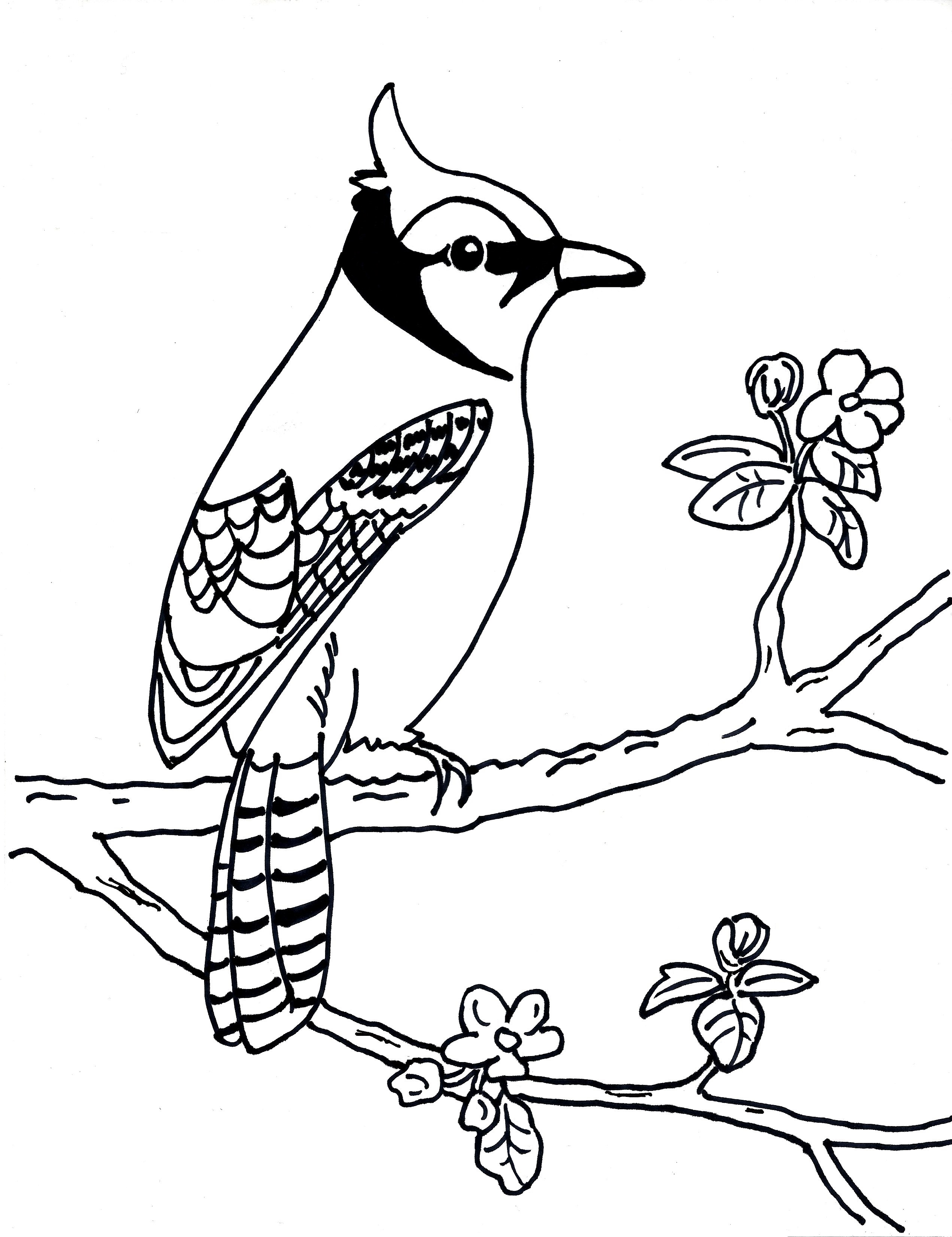 bluejay coloring pages - photo#18