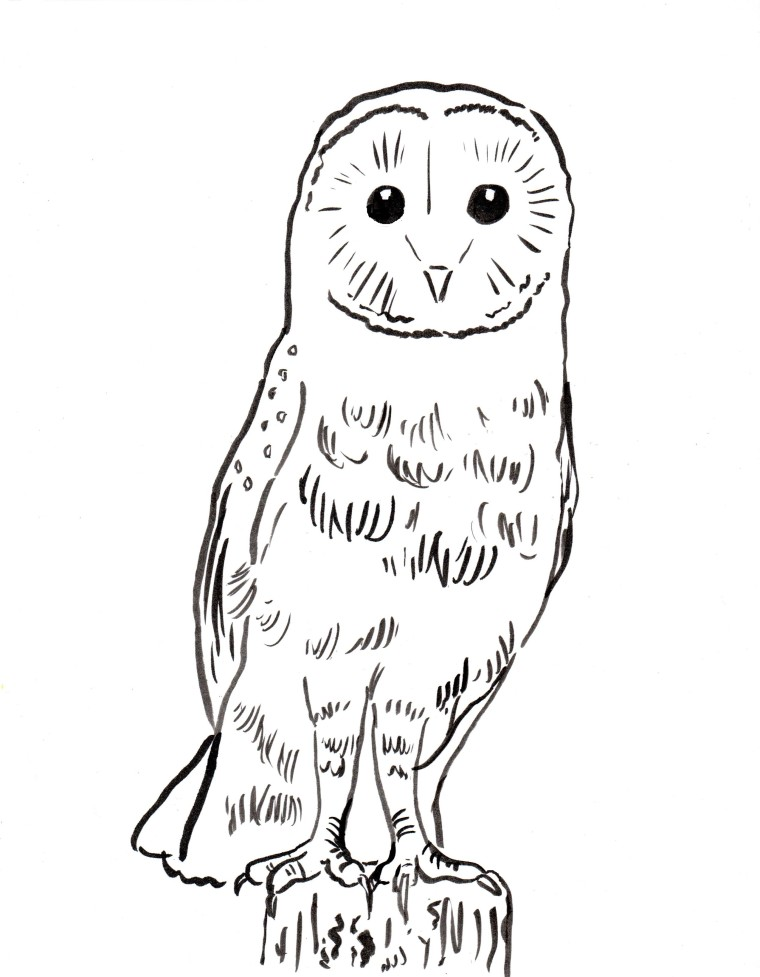 Owl Coloring Pages Pdf : Barn owl coloring page samantha bell