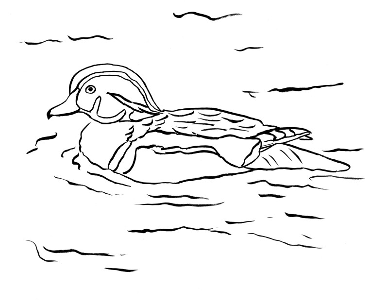 Wood Duck Coloring Page - Samantha Bell