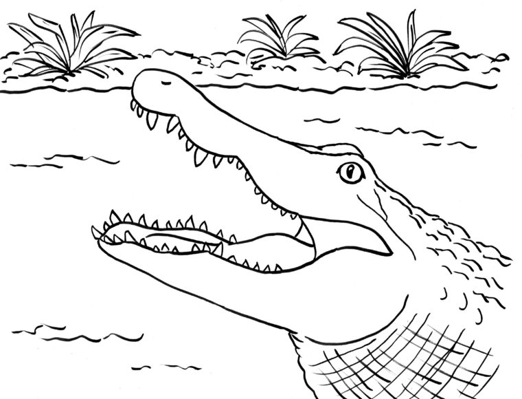 Alligator Coloring Page  Samantha Bell
