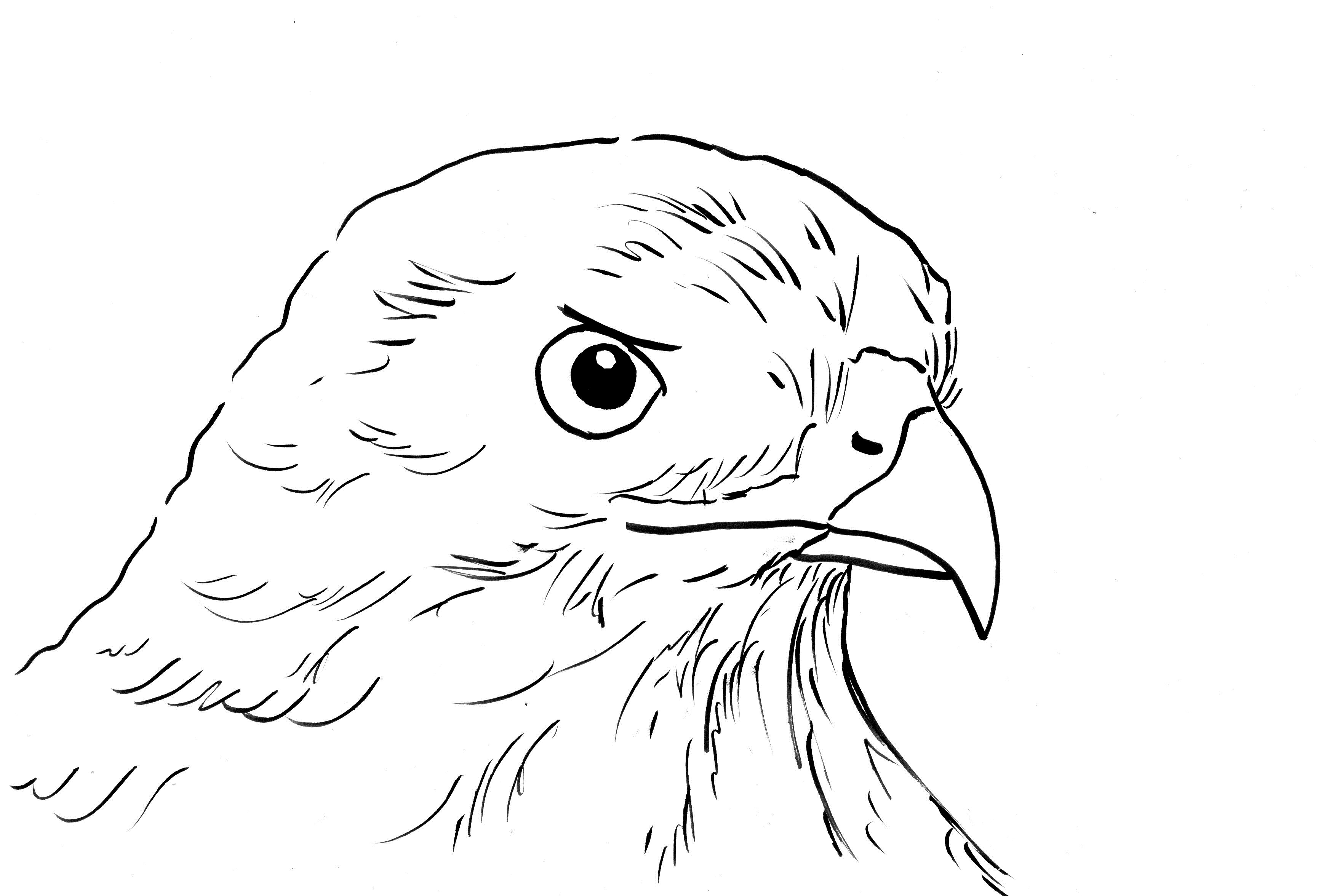 hawk coloring page samantha bell