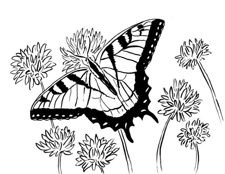 swallowtail butterfly coloring page samantha bell