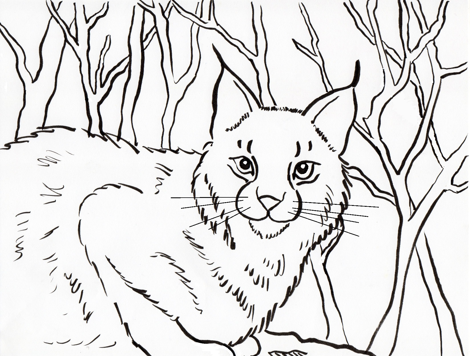bobcat coloring pages Bobcat Coloring Page   Samantha Bell bobcat coloring pages